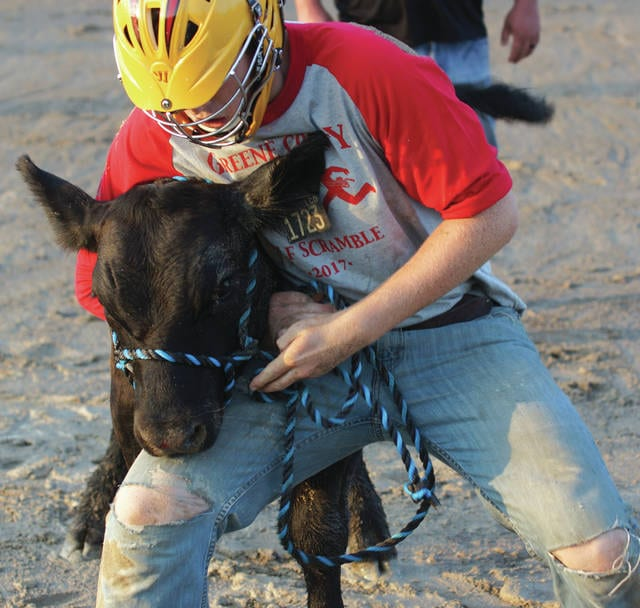 Xenia's Devan Lypchynski wrestles to control a calf while attaching a harness around its head, Sunday July 30 at the Greene County Fair.