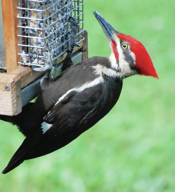 Submitted photo A pileated woodpecker eats from a special feeder.