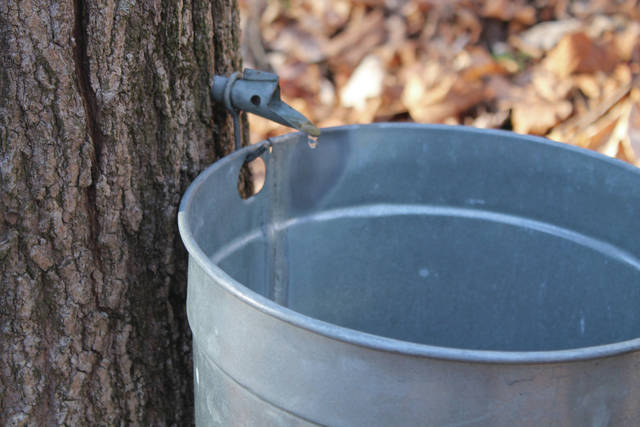 File photos Greene County Parks & Trails is offering rent-a-bucket again this season for families to watch their own buckets fill with sap.