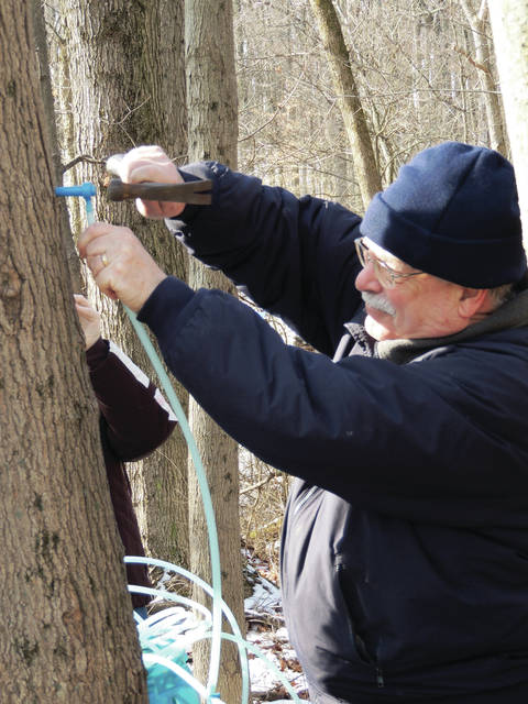 Submitted photos GCP&T Volunteer Tom Gray taps a sugar maple tree at the Narrows Reserve Sugar Camp.
