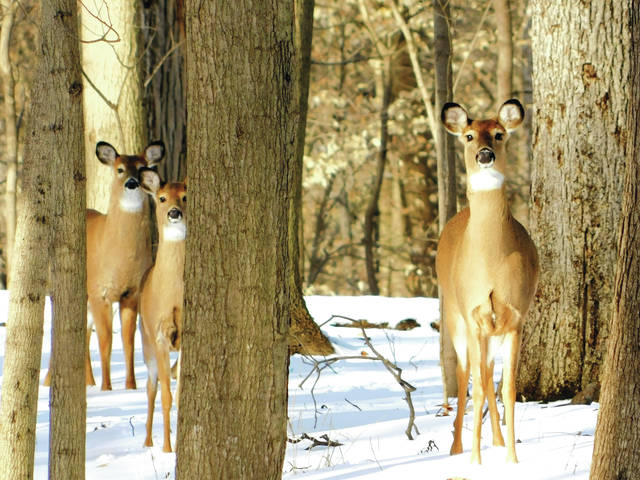 """Submitted photo A trio of deer paused to look at Greene County Parks & Trails' Ranger Doug Mlynarek recently at the Crooked Creek Nature Sanctuary, 2565 Spahr Road, Bellbrook. Crooked Creek Nature Sanctuary is open by permit only but hosts several events open to the public several times a year. The 18-acre park offers hiking trails and a log cabin. White-tailed deer in Greene County can frequently be seen in groups this time of year as they """"yard up"""" during the winter months."""
