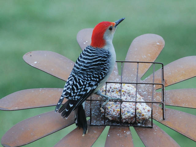 Submitted photo Event attendees can learn about birds like this Red-bellied Woodpecker.