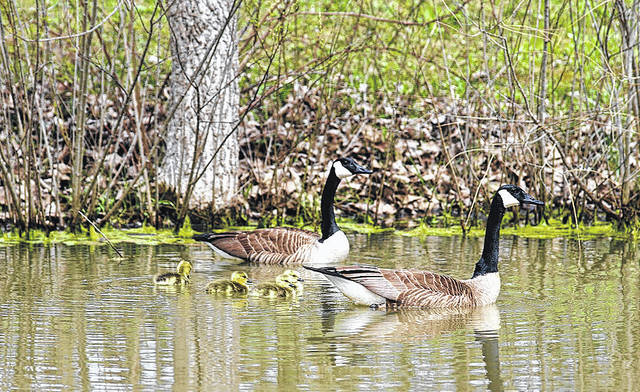 Barb Slone | Greene County News The babies are arriving along with Spring. This pair of Canada geese care for their new family in a Greene County pond.