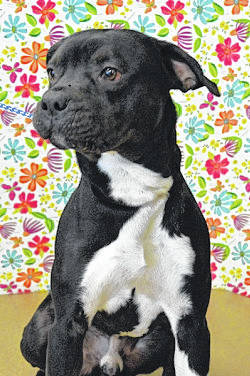 Submitted photo Sammy is a fun-loving and energetic pit bull- lab mix. This male black-and-white pup is about 1 or 1 1/2 years old. Sammy is ready for adoption and would love to find a new home soon.