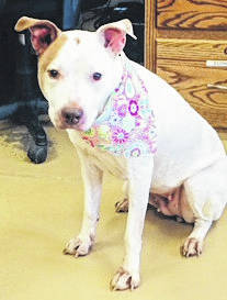 """Submitted photo Frannie is a 5 year old pit bull. Often overlooked, she's described as a """"doll baby."""" This pup is sweet and quiet, loves to cuddle and is ready to go to a happy home. She has been spayed and vet-checked and is ready for adoption."""