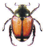 A picture of a Japanese beetle.