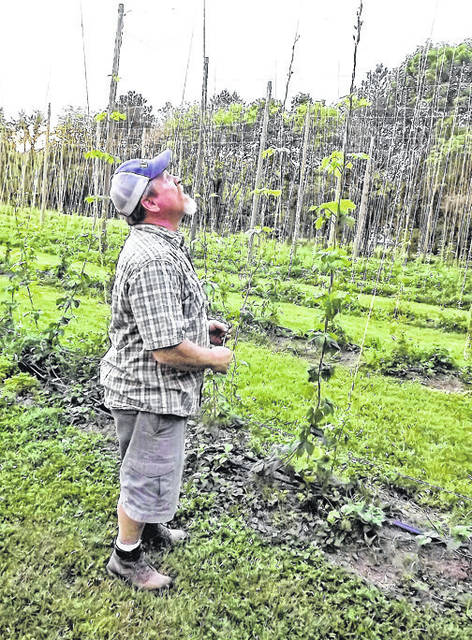 Submitted photo Jamie Arthur inspects his hop yard.