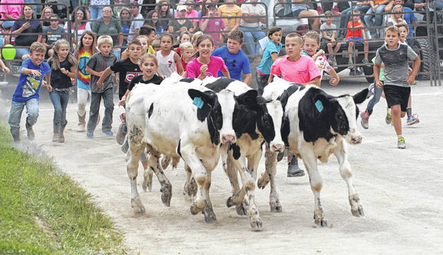 Four calves start off running from 30 kids in one of the early Kiddie Calf Scramble events, July 29 at the Greene County Fair. Contestants had to be among the first four contestants to grab an adhesive tag off the backs of the cows to win anywhere from $20 for first place to $5 for fourth.