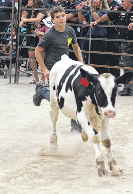 Barb Slone | Greene County News Youth took a chance to catch next year's Greene County Fair project during the Kiddie Calf and Calf scrambles. The younger kids have a chance to catch a calf in the Kiddie Calf Scramble. They have to get the sticker off a calf and get to the center ring.
