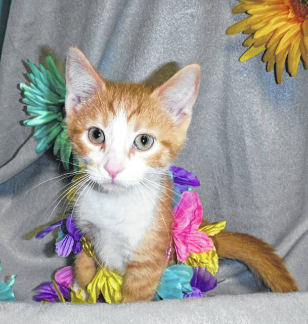 Submitted photo Motley is an orange mackerel and white domestic short-haired kitten. This sweet 2 month old boy is neutered, vet-checked and up to date on shots. He would love to go home with a family soon and grow up in a permanent home.