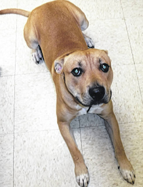 Submitted photo Odie is a young pit bull mix. He's 8-9 months old with a tan coat. This pup has been neutered, vet-checked, is up-to-date on shots and is looking for a forever home.