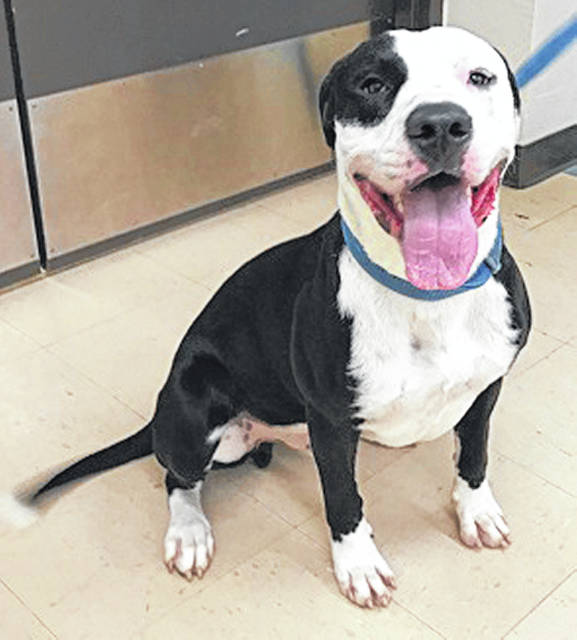 Submitted photo Stoli is a beautiful black and white pit bull mix. He's 1.5 years old and has been vet-checked, neutered, and is up to date on his shots. Now all he needs is a loving home.