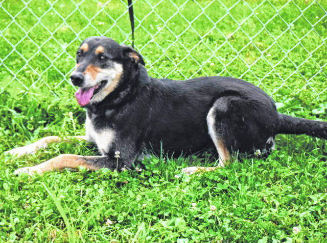 Submitted photo Marge is a female 5-7 year old Shepherd mix with a black and tan coat. Marge is so sweet with the most loving temperament. Her friends at GCAC say she would make an amazing pet for any size family. Now she's just waiting for somebody to come meet her.
