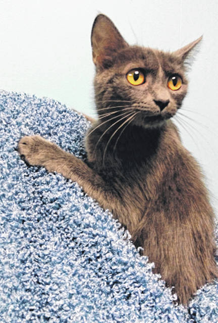 Submitted photo Tuna is a blue domestic short-haired female. She's about 1 year old. This cute kitten is spayed, up-to-date on her shots, vet-checked and looking for a new home.