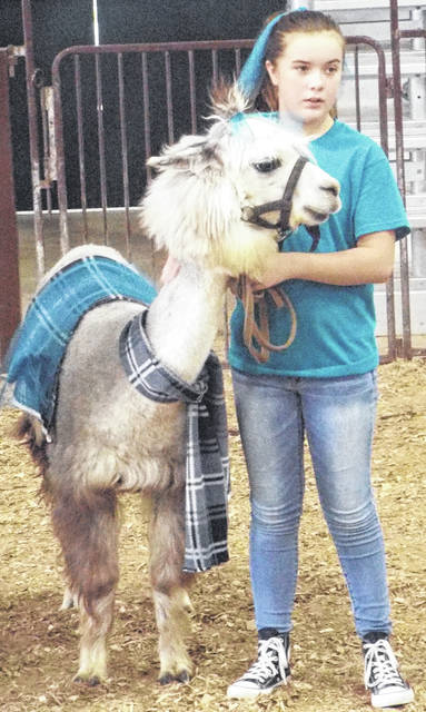 Second place winner with her llama in an America themed outfit. Llamas and alpacas are in the camelid family, but they have a few key differences. Llamas have banana-shaped ears, hair, and are larger animals. Alpacas have straight, pointed ears, wool, and are smaller.