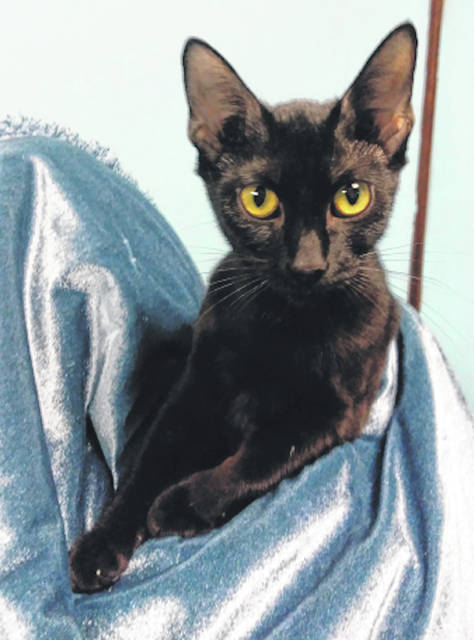 Submitted photo Charcoal is a black domestic short-haired cat. This kitty has been spayed, vet-checked and is up-to-date on her shots. She can be visited at GCAC, where she's ready to be adopted by a loving human.